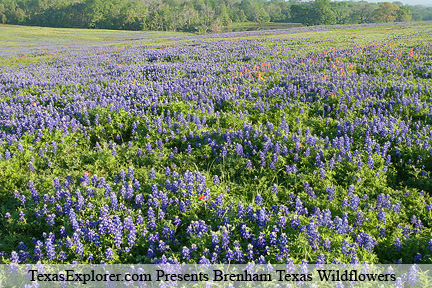 Image #12. Bluebonnets and Indian Paint Brushes Brenham.
